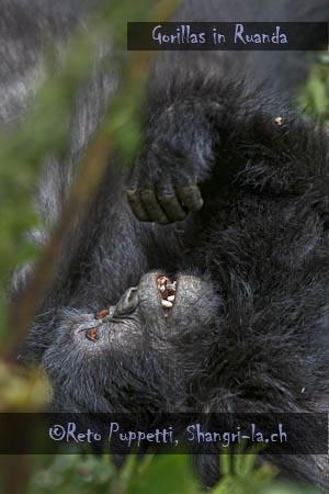 Gorillas in Ruanda, Familie Umubano, Reto Puppetti