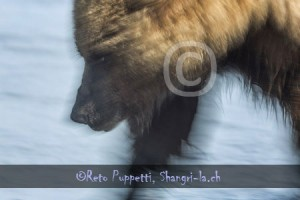 Baeren Grizzly Portrait photos by Reto Puppetti_0005