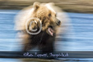 Baeren Grizzly Portrait photos by Reto Puppetti_0008