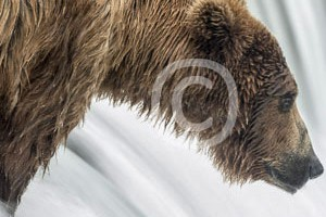 Baeren Grizzly Portrait photos by Reto Puppetti_0014