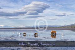 Bär, Grizzly, Tierfotos, Tierfotograf, Fotograf